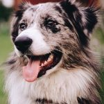 picture of Australian Shepherd dog